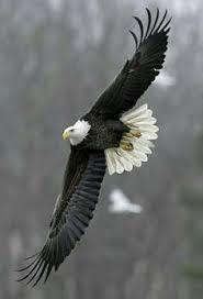 bald eagle in flight birds pinterest bald eagle eagle and bird