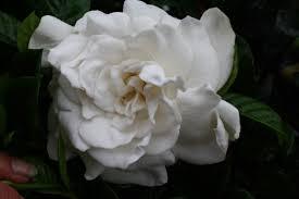 gardenia flower aimee gardenia aimee yoshioka cape moon moth garden