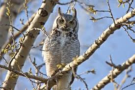 great horned owl facts information photos artwork