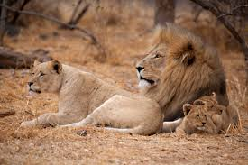 eldemore u2022 topic battle prides lion semi lit