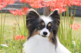 papillon a name meaning butterfly the shape of it s ears