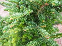 12 species of fir trees members of the abies genus