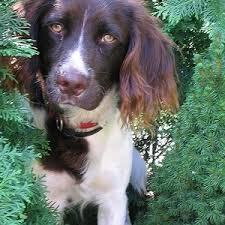 australian shepherd vs brittany comparison of large munsterlander dog vs brittany spaniel dog