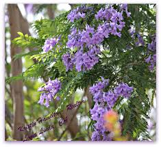 tree with purple flowers jacaranda trees beautiful but