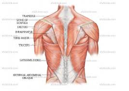 Anatomy And Physiology Of The Back Anatomy Posters Spontaneous Muscle Release Techniquespontaneous