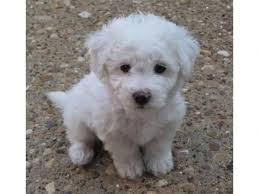 1 week old bichon frise 8 week old bichon frise puppies for sale pets for sale in the uk