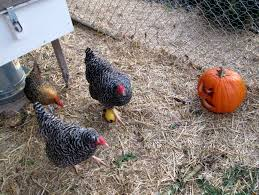 Benefits Of Backyard Chickens by Is It Legal To Raise Chickens In My Suburban Backyard Counting