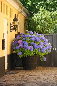 Flower Boxes That Thrive In by Best Blue Flowers To Grow In Containers Balcony Garden Web