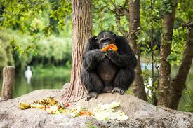 this is extremely chimp ortant chimpanzee facts for kids