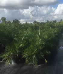 bamboo land nursery and parklands locate u0026 find wholesale plants plantant com