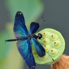 Blue And Green Butterfly - 47 best dragonflies images on butterflies damselflies