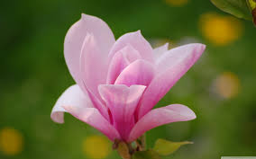 pink flower magnolia pink flowers solidaria garden