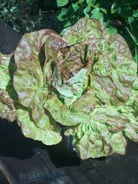 spring sale red buttercrunch lettuce seeds lettuce seeds heirloom