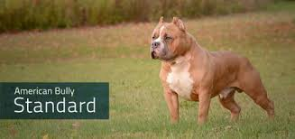 american pit bull terrier breed standard news