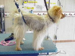 australian shepherd haircuts truths and myths about shaving dogs with double coats familypet