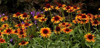 echinacea flower echinacea cone flower tlc garden centers
