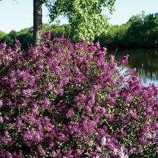 syringa lilac shrubs grow beautiful flowering shrubs from