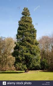 an incense cedar tree libocedrus decurrens originally from