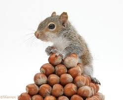 Squirrel Nuts Meme - gray squirrel with pile of nuts meme generator imgflip