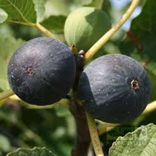 figs delivery fig tree ficus brogiotto nero figs ficus fig