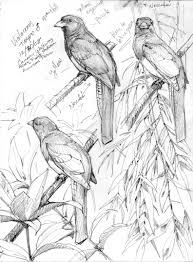 a quetzal in the flesh u2013 drawing the motmot