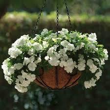 Vinca Flower Information - mediterranean xp white vinca