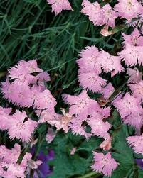 Fragrant Flowers For Garden - flowering ground covers fine gardening