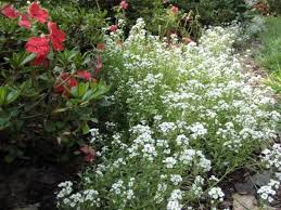 alyssum flowers views from the garden drought tolerant annual flowers that bloom