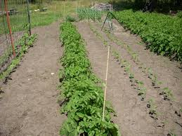 foliar feed to fertilize your vegetable garden grow great vegetables