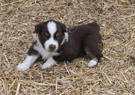 australian shepherd puppies 500 mini aussies oregon city shepherd portland sale breeder puppies