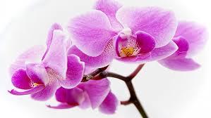 purple orchid flower flower wallpapers purple orchid flowers wallpaper 3753