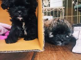 affenpinscher good bad leah leah joy3 twitter