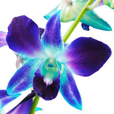 blue dendrobium orchids wholesale orchids buy orchids for weddings wholesaleflowers net
