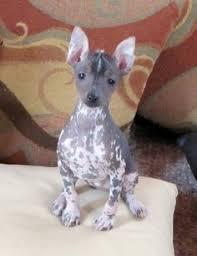 affenpinscher venta mexico cachorro yorkshire terrier tender pets pinterest