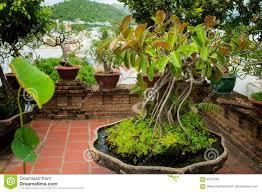 Green Rubber Plant Pipal Bonsai In The Clay Pot Po Nagar Nha