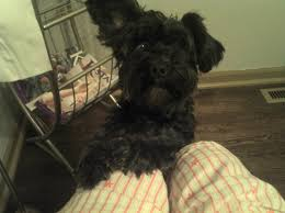 affenpinscher loyalty april 2012 u2013 bug bytes by julie burton