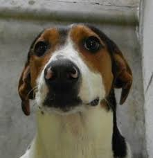 bluetick coonhound smokey view ad treeing walker coonhound dog for adoption ontario