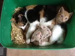 kittens for sale in ayrshire kilmarnock ayrshire pets4homes