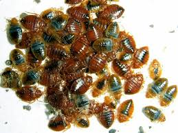 Rubbing Alcohol Kills Bed Bugs To Get Rid Of Bed Bugs At Home Can Be A Severe Problem
