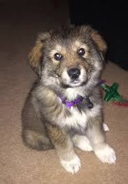 australian shepherd e gatto happy dirty puppies are the cutest puppies caucasian ovcharka