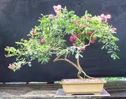 bonsai australian native plants crepe myrtle bonsai trees