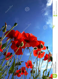poppy flower royalty free stock photos image 1699358