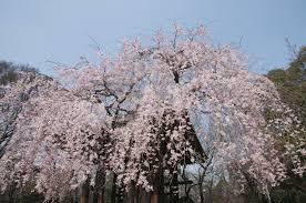 Flowering Cherry Shrub - cheal u0027s weeping pink flowering cherry tree 5 6ft p serrulata kiku
