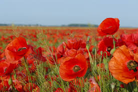 poppies flowers free images landscape sky meadow flower petal