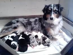 commercials with australian shepherds mandy u0027s friends australian shepherd breeding home facebook