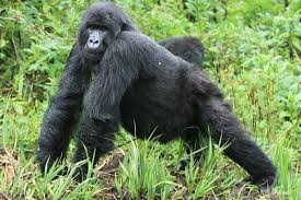 where does the name gorilla come from berggorilla regenwald