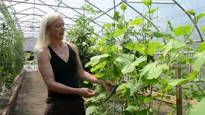 cucumber trellising rimol greenhouse systems youtube