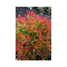evergreen flowering shrubs at thompson morgan