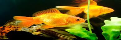 ornamental fish culture kisan suvidha