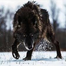 Mad Wolf Meme - pin by gina osnes on i love wolves pinterest wolf animal and